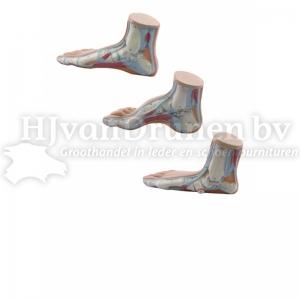 Anatomische voet