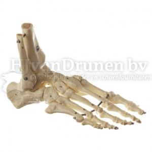 Skelet voet