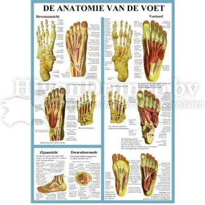 Poster Anatomie